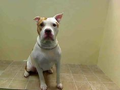 TO BE DESTROYED - 12/27/13 Brooklyn Center CHLOE  A0987399 Female white & brown pit bull mix 3 YRS OWNER SUR 12/14/13 Owners had this sweet girl for 3 yrs, & then saw agression & dumped her? She will need slow intros to other dogs. Should go to ONLY DOG HOME -for now. Did AMAZING on behavior exam!!!  She is extremely friendly and very happy and she is in a SHELTER!!! just imagine out of there how she will be... Hoping that she gets the miracle she needs and deserves this holiday season.