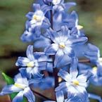 Chionodoxa - glory of the snow bulb. plant in fall - good to zone 3 - deer resistant :-)