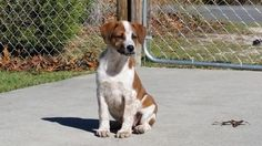 Check out Jenna's profile on AllPaws.com and help her get adopted! Jenna is an adorable Dog that needs a new home. https://www.allpaws.com/adopt-a-dog/australian-cattle-dog-blue-heeler-mix-brittany/4015214?social_ref=pinterest