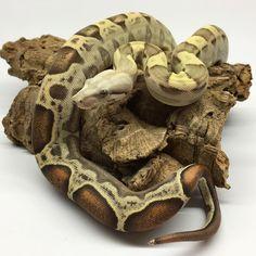 «BOAS F❤️R LIFE #boa #boas #boaconstrictor #boaconstrictors #boaofig #boaofinstagram #snake #snakes #snakeofig #snakesofig #snakeofinstagram #petofig…»