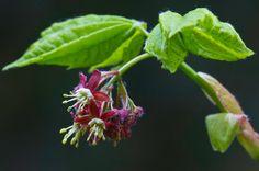 Acer Circinatum [Vine Maple]
