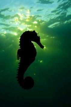 Seahorse silouhette