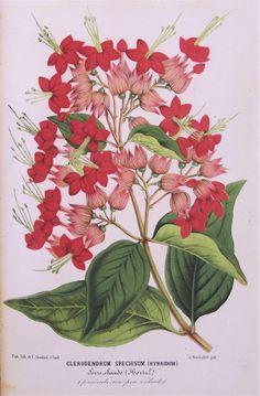 Clerodendrum x speciosum - 1869