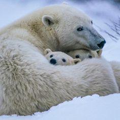 L'ours polaire en 44 photographies uniques                                                                                                                                                                                 Plus