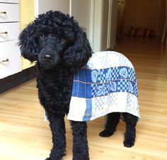 A wet towel is the best when it's hot outside. Poodle.