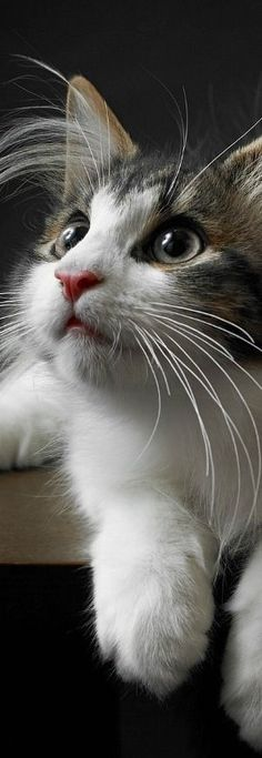 Attentive  Kitty  ♡ ❤For More Follow On INSTA @love_ushi OR PINTEREST @ANAM SIDDIQUI ♥ ♡