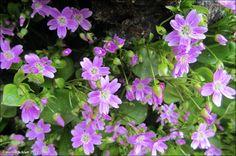 https://flic.kr/p/e237sm   Garðalisa / Claytonia sibirica L.