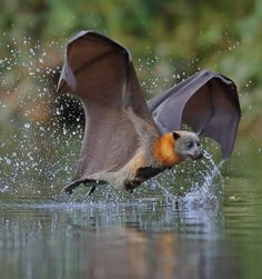 Flying Fox bat, I know this isn't a bird, but the structure of the wings is similar. When drawing the wings of the dragon, they could be connected to its feet like the Fox Bat. Nature Animals, Animals And Pets, Funny Animals, Cute Animals, Baby Animals, Wild Animals, Murcielago Animal, Wildlife Photography, Animal Photography