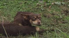 A tiny chihuahua didn't know how to go on after his canine friend was fatally struck by a car, so he remained at her side