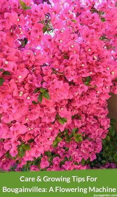 Bougainvillea is a vibrant flowering machine! Here's what to you need to know to grow & care for Bougainvillea. There's a video for you too.