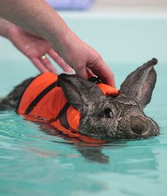"Whoever came up with the term ""dog paddle"" was pretty narrow-minded. According to People Pets, Heidi the rabbit is an excellent swimmer and is using the skill to help ease her arthritis."