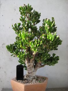"Crassula Hobbit Bonsai- Love the name of this one. ""I will call you Frodo! House Plants, Jade Plants, Plants, Succulents, Cool Plants, Cactus Plants, Jade Plant Bonsai, Miniature Trees, Planting Succulents"