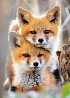 Beautiful ❤ fox kits animal kingdom, dogs and puppies, foxes, cute animals Nature Animals, Animals And Pets, Wild Animals, Beautiful Creatures, Animals Beautiful, Beautiful Cats, Cute Baby Animals, Funny Animals, Funny Dogs