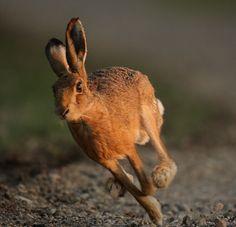 Hare running in the evening Lepus europaeus