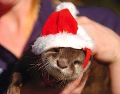 Christmas otter. You just never see enough Christmas otters.