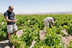 """""""When it comes to dryland winefarming, nature needs to play the key role."""" Charl du Plessis #swartland #spiceroute"""