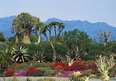 Beautiful <b>South</b> <b>Africa</b>: Namaqualand… Weed Effects, Pencil Plant, National Botanical Gardens, Low Maintenance Landscaping, Water Wise, Landscaping Company, Planting Succulents, Cape Town, Live