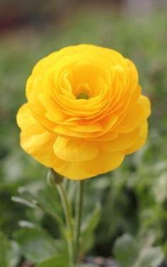 Ranunculus ~ Persian Buttercup