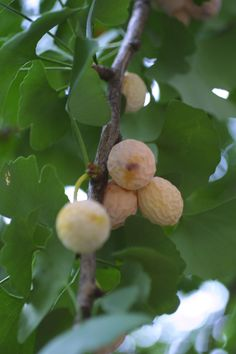 Ginkgo (Ginkgo biloba) also known as Maidenhair tree is one of the oldest species of tree. Native to China, the fruit tree has various uses in Chinese traditional medicine and as a source of food