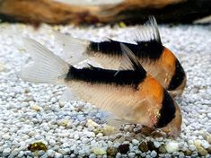 "@my_aquarium_blog on Instagram: ""Beautiful corydoras adolfoi 😊 . . . . . . . . . . #Aquarium #aquascaping #corydoras #lovely #photooftheday #aquariumfish #justgoshoot…"""