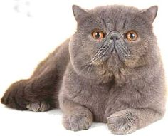 ) Exotic Cat Society is an non profit-making organisation for breeders and owners of Exotic cats. Persian Kittens, Cats And Kittens, Exotic Cats, Exotic Shorthair, Himalayan, Fur Babies, Animals, Friends, Blog