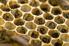 Honeybee colonies dying~no pollination, no vegetables or fruit