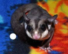 My Sugar Gliders - Lucky You Gliders