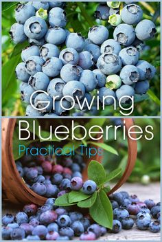 Growing Blueberries : Practical Tips