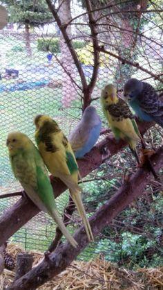 Wellensittich Jungvögel abzugeben Seit einer Woche aus dem Nistkasten Futterfest und...,Wellensittiche abzugeben in Sachsen-Anhalt - Dahlenwarsleben