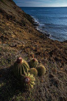 Melocactus Intortus by the sea by e_romero, via Flickr - Puerto Rico