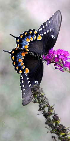 Black swallowtail host plants are dill, parsley, fennel, carrot, ageopodium Papillon Butterfly, Butterfly Kisses, Butterfly Flowers, Butterfly Wings, Butterfly Pupa, Flying Flowers, Butterflies Flying, Beautiful Bugs, Beautiful Butterflies