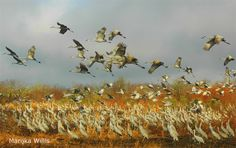 Photo of the Day: Sandhill Cranes Taking Off