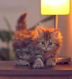fluffy kitten!·