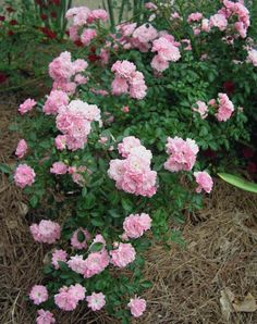 25 Perfect Plants for Fairy Container Gardens: The Fairy Rose -- http://www.hgtvgardens.com/flowers-and-plants/fairy-garden-flowers-and-plants?s=3soc=pinterest