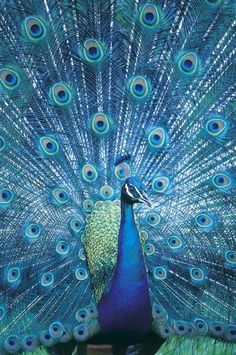 Peacock - photo by Jason Busch   ...You must scroll sideways to find the original...