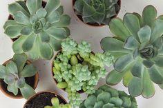 Einfach Sukkulenten vermehren mit Blattstecklingen. Eine Anleitung mit Bildern und ein paar Tipps, wie man Sukkulenten vermehrt mit ein bisschen Geduld ist das ganz einfach.