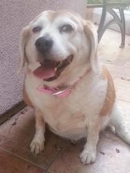 Download Beagle Chubby Adorable Dog - 4b076aa62bedaeb70f918b635184709c--brooke-dorsay-my-husband  Photograph_163338  .jpg