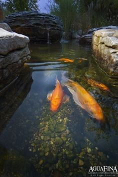 Koi.  - SPRING DEPARTS, BIRDS CRY, FISHES' EYES ARE FILLED WITH TEARS. - Buson