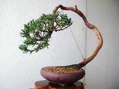 FÓRUM do Atelier do Bonsai - Mário A G Leal :: Exibir tópico - Opinião Shimpaku (atualizado 21/06/11)