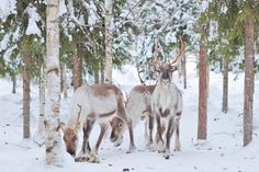Reindeer Farm Visit - Take a glimpse into the daily life of reindeer farm! Arctic, Reindeer, Stuff To Do, Northern Lights, Moose Art, Horses, Life, Animals, Animales