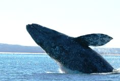 The gray whale migration is in full swing...and it will be a banner year!