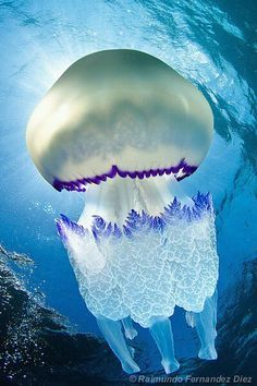 Rhizostoma pulmo The Barrell Jellyfish (Rhizostoma Pulmo) is commonly found in the Irish Se. Rhizostoma pulmo The Barrell Jellyfish (Rhizostoma Pulmo) is commonly found in the Irish Sea. Measuring up to in diameter, it is the largest jellyfish foun Underwater Creatures, Underwater Life, Beautiful Creatures, Animals Beautiful, Stunningly Beautiful, Beautiful Gorgeous, Fauna Marina, Deep Blue Sea, Deep Purple