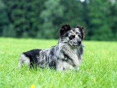 Blue Merle Pyrenean Shepherd Dog - Berger des Pyrénées à face rase