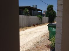 Four rogue roosters invaded downtown! Here are two of them being corralled in Art Alley before capture!