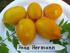 10 Stk.Tomatensamen  Anna Hermann Gelbe Tomaten zum Füllen ,russische  Tomate de.picclick.com