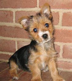 Torkie: Yorkshire Terrier - Toy Fox Terrier Mix