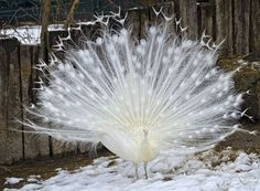 An albino peafowl is no less spectacular despite the lack of color.