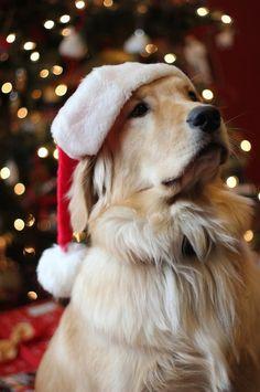 A beautiful Golden wearing a Santa hat!