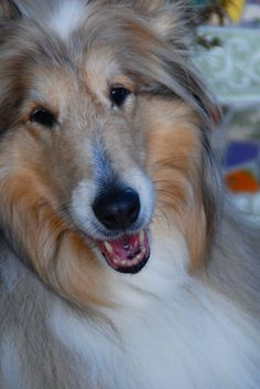 I swear someone took a picture of my Katie girl. Scotch Collie, Rough Collie, Sheltie, Corgi, Moon, Puppies, Animals, The Moon, Corgis