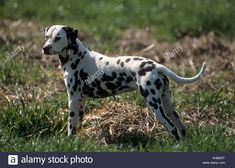 junger Dalmatiner Hund auf Wiese young ... Dalmatian Dogs, Multiple Images, Mammals, Stock Photos, Pets, Illustration, Guys, Illustrations, Animals And Pets